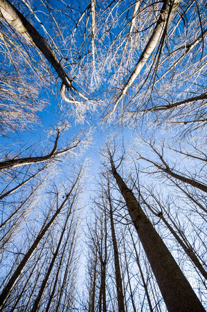poplars: poplars