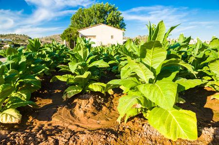 tabaco: Tabaquería plantación