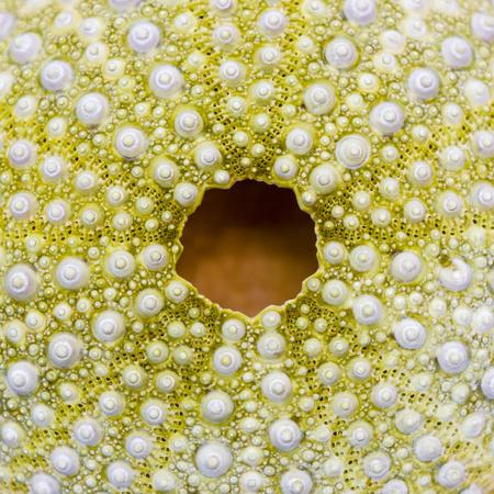 pilluelo: erizo de mar