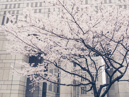 cherrytree: cherry-tree in Tokyo, Japan