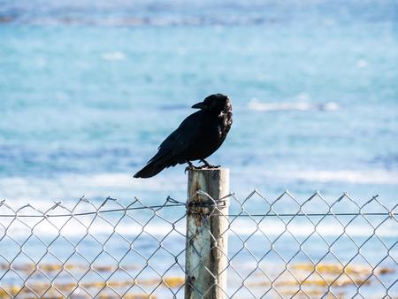 bixby: crow in Big Sur, California, USA Stock Photo