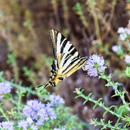 machaon: Papilio machaon