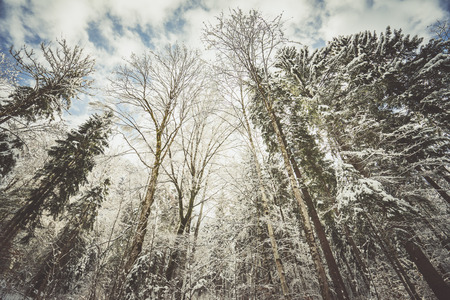 from below: Snowy trees covered with snow.From below Stock Photo