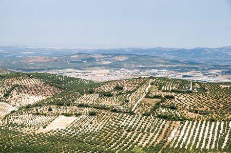 paisaje mediterraneo: olivar Foto de archivo