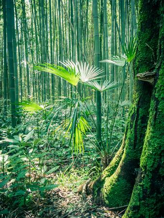 arboleda: Sendero de bambú en Arashiyama, Japón Foto de archivo