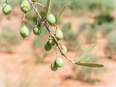 Olive tree in Jaen, Spain