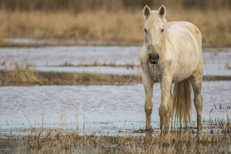Horse of the Camargue in the Natural Park of the Marshes of Ampurdán, Girona, Catalonia, Spain Zdjęcie Seryjne
