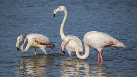 Group of pink flamingos (phoenicopterus roseus) in the Natural Park of the Marshes of Ampurdán, Girona, Catalonia, Spain