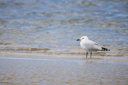 Audouin's gull (Iichthyaetus audouinii) with a fishing hook hooked in the mouth in the Natural Park of the Marshes of Ampurdán, Girona, Catalonia, Spain