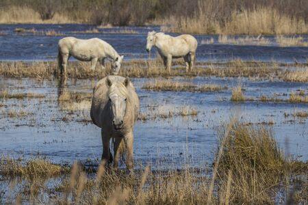 Horses of the Camargue in the Natural Park of the Marshes of Ampurdán, Girona, Catalonia, Spain