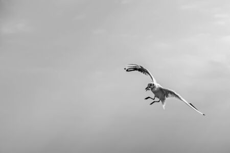 beak: Seagull with a piece of bread in a beak. Stock Photo