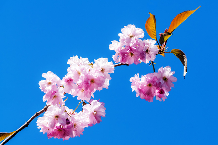 Cherry blossom against the blue sky background