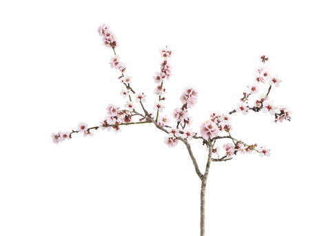 almond flowers isolated