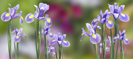 iris flowers isolated photo