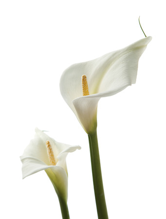 callas flower isolated