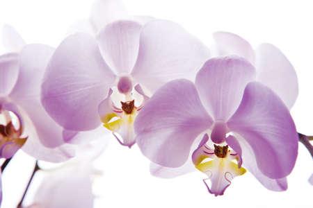 fiore isolato: orchidea fiore isolato