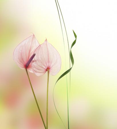 anthurium: anthurium flowers isolated
