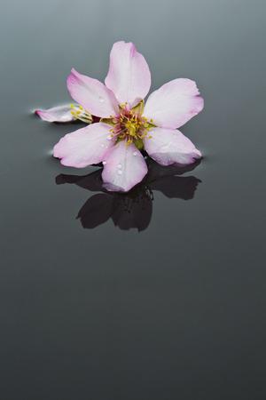 fiore isolato: mandorle fiore isolato