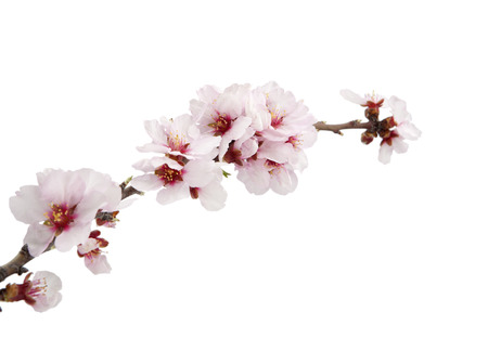 almond flower isolated