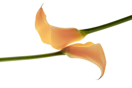 callas: Callas flowers isolated Stock Photo
