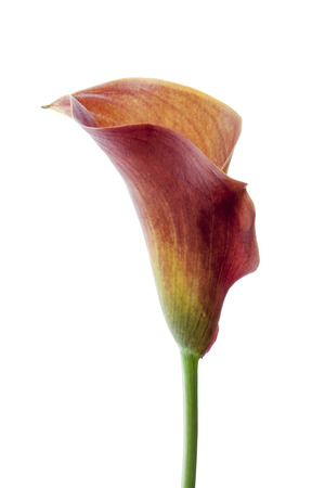 callas: Callas flower isolated