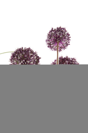 onion flowers: onion flowers isolated