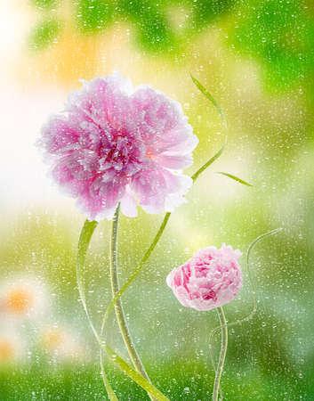 pfingstrosen: Pfingstrosen Blumen