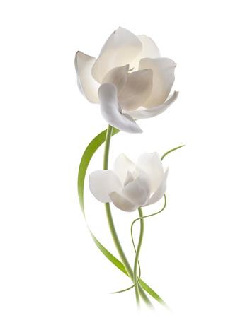 magnolia flowers: magnolia flowers isolated
