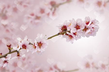 backgrounds: almonds flowers backgrounds