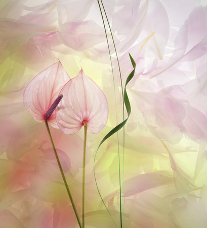 anthurium: flowers backgrounds anthurium effect vintage Stock Photo
