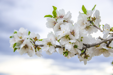 white blossom: almond flowers