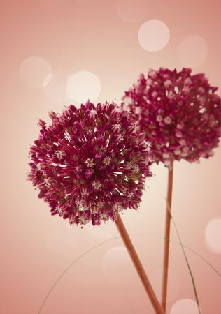 onion flowers: onion flowers