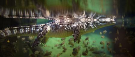 Panoramic underwater view of Alligator