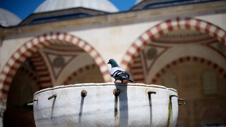 Pigeon stands in the garden of Selimiye Mosque in Edina, Turkey. Stock Photo