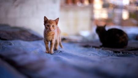Yellow kitten walks on the fabric surface