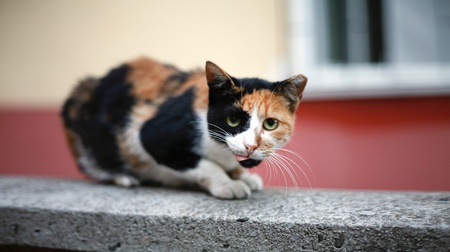 Street cat lying down on the wall with blurred background
