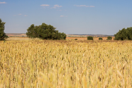 Beautiful wheat field located on the outskirts of Madrid, Spain. The field is dry Because the photo is made in the summer season Where the fields Also acquire some pretty colors. Stock Photo
