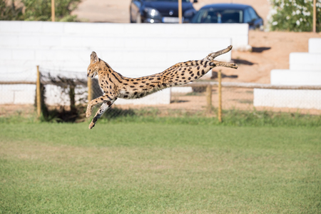 Serval, feline animal jumping high in the grass area hunting its prey. Archivio Fotografico