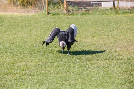 Condor of the Andes or Vultur gryphus, the largest bird on the planet walking on the grass.