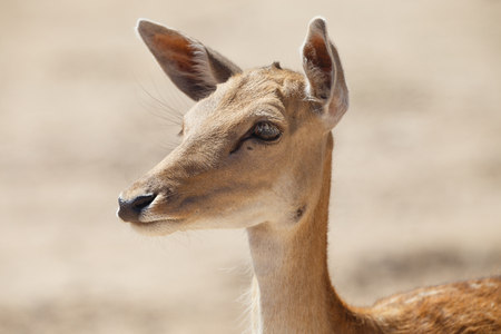 Common female deer or cervus elaphus in a wild sand area Stock Photo