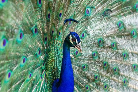 Stunning indian male peacock with open wings showing all its blue eyes over green plumage. Stock Photo