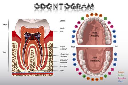 muela: Esquema dental. Diagrama de dientes Vectores
