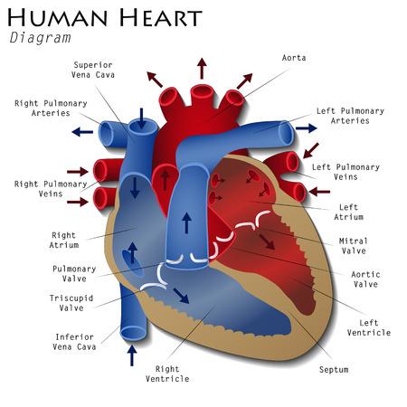 corazon humano: Diagrama del corazón humano