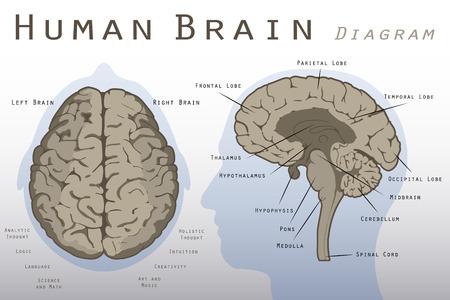 sistema nervioso: Diagrama del cerebro humano Vectores