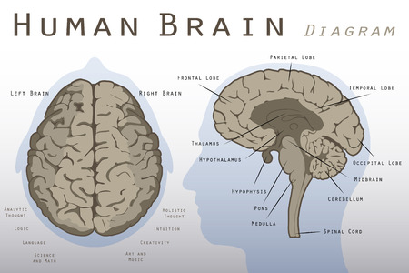 nerveux: Schéma Human Brain