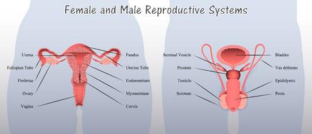 女性と男性の生殖システム図
