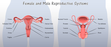 Female and Male Reproductive Systems Diagram Illustration