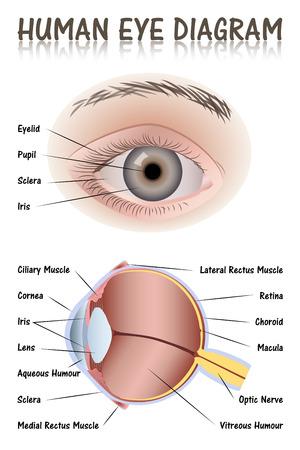 nervios: Diagrama del ojo humano