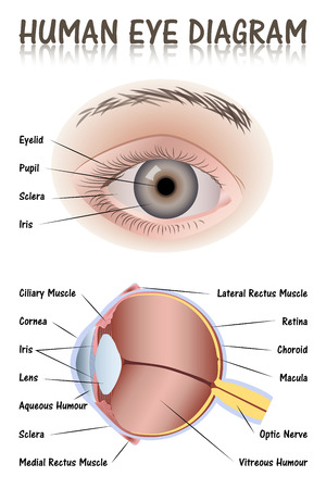 nerve: Human Eye Diagram