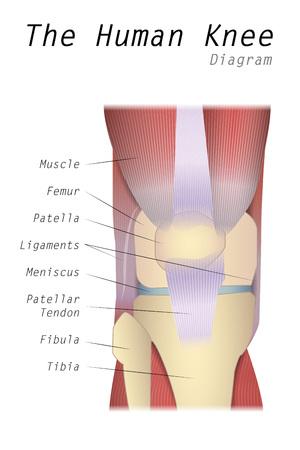 patella: The Human Knee Diagram Illustration